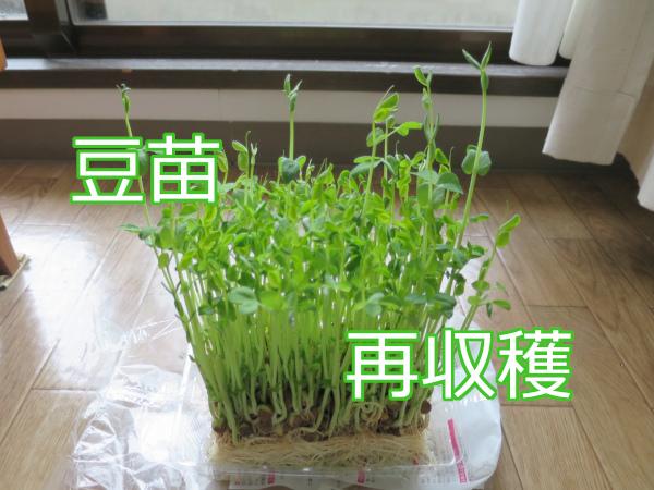 豆苗の再収穫