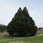 トトロの木 小杉の大杉 山形県鮭川村