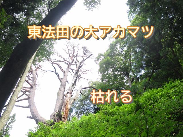 東法田の大アカマツ枯れる