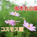 御本丸公園コスモス園 大崎市松山